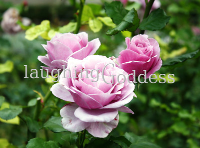 Title: Three lilac roses nestled in green leaves