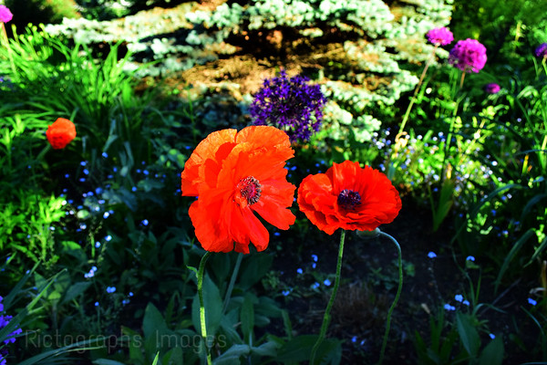 Garden Poppies, Rictographs images