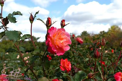 Roses in Lyndale Gardens, Mpls
