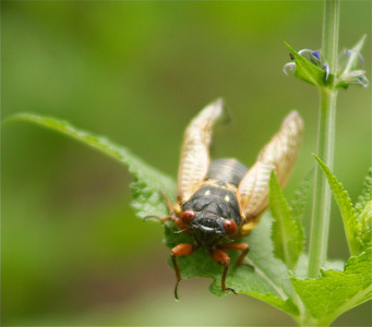 A different view of the 17 yr. cicada