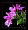 Azalea         ltbrgt                             IMG_2532w (28580473)