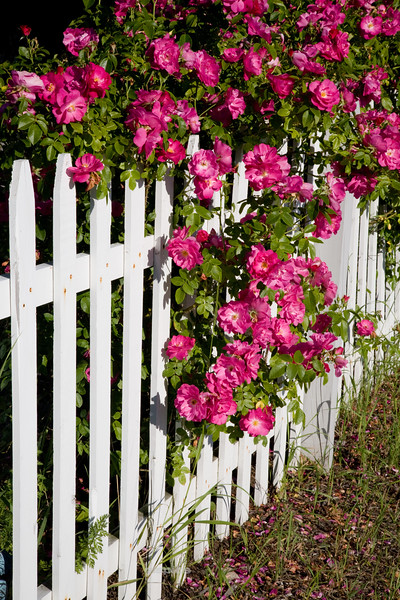 Roses Thru a Picket Fence