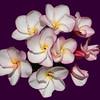 Plumeria Frangipani flowers.<br /> 19th March 2003, Honolulu Foster Botanical Garden, Hawaii.