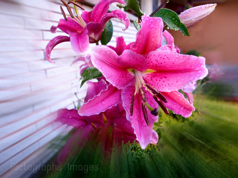 Wet Pink Lily