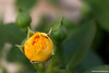 Yellow Rose Bud 1