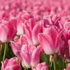 Tulips_04_16_10_0005