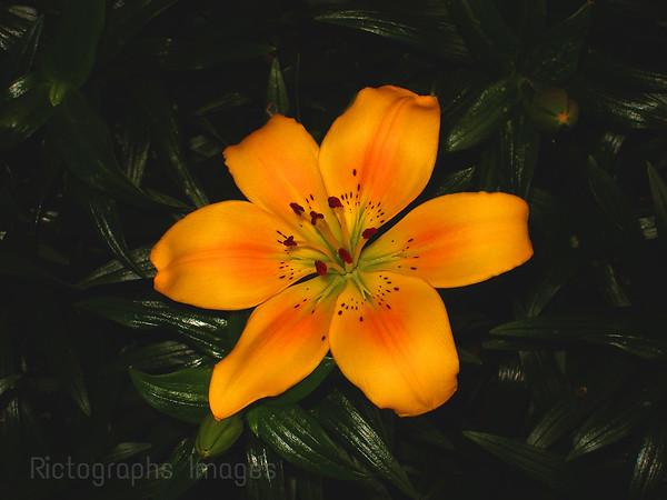 Yellow Lily Garden Cultivar