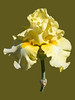 Single Yellow Iris Portrait