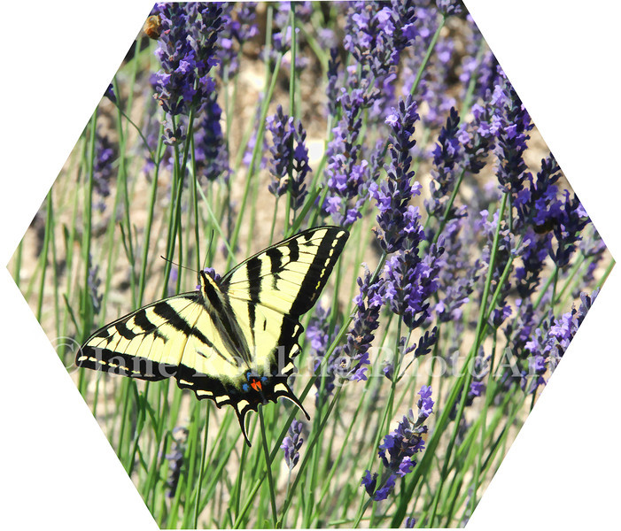 lavender and tiger swallotail butterfly
