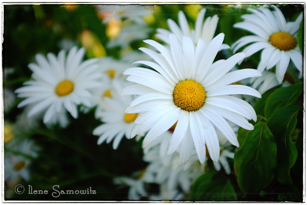 7-28-13 Photographed these beautiful daisies in the demonstration garden in Mount Vernon, WA this evening.