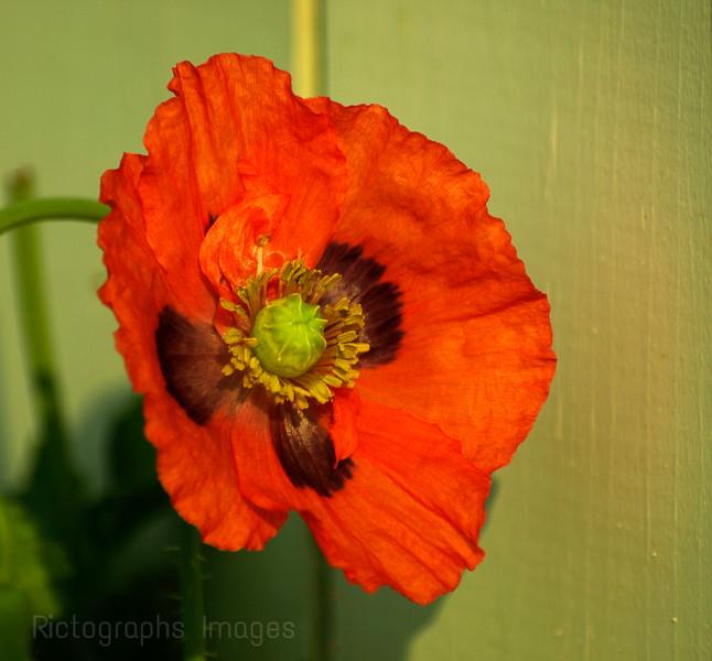 Red Orange Poppy
