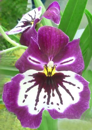 Orchid Purple white