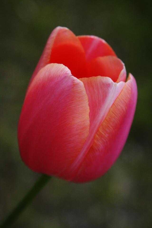 IMG4_26495 Tulip flower DPP