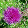 FL1  -  Thistles growing wild by Tyndall AFB.