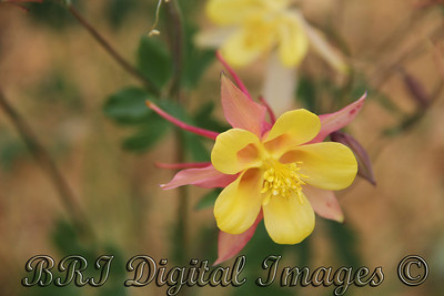 Pink And Yellow Columbine