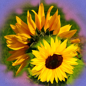 Sunflowers, Square,