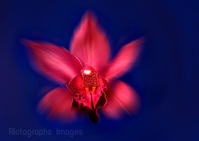 Pink Orchid Beauty