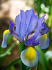Blue Dutch Iris