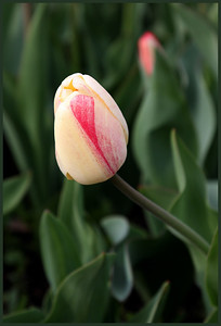 Early Morning Cream Tulip 00176
