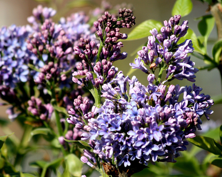 Spring is finally showing it's pretty face up here in Oregon..The spring lilacs are smelling & looking beautiful!