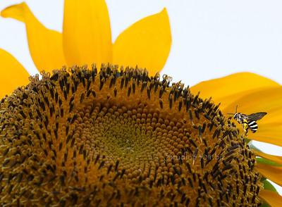 Large sunflower ctr & bee 1323