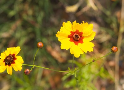 Texas Wildflowers - 1