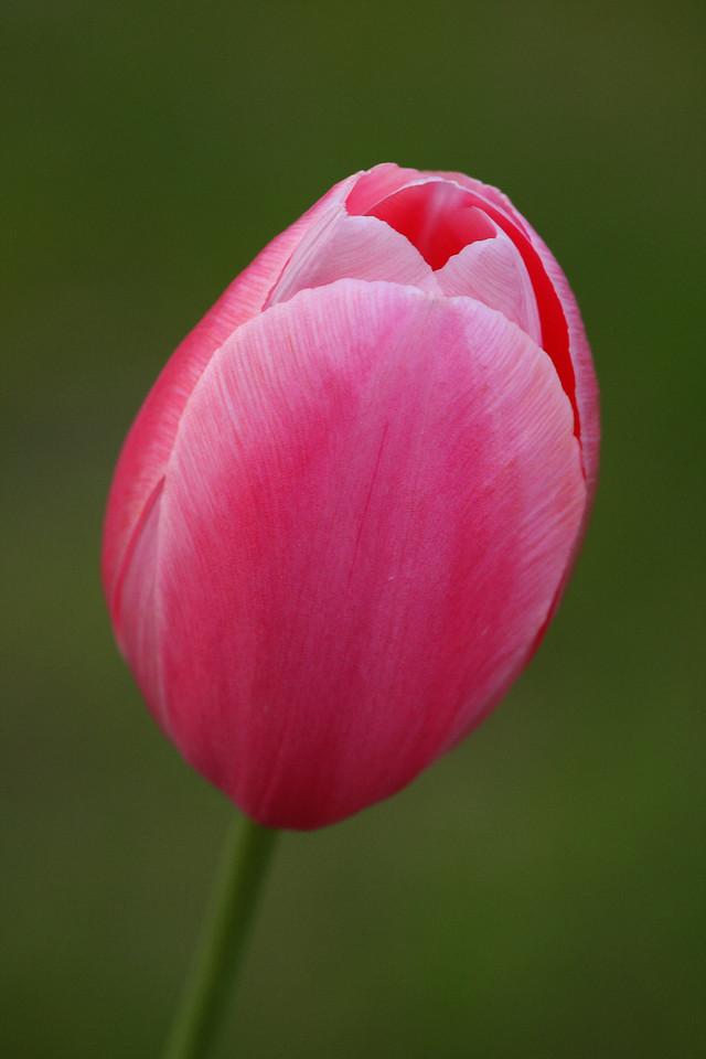 IMG4_26504 Tulip flower DPP