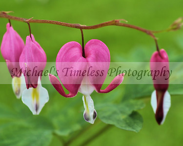 Bleeding Heart - 8 x 10