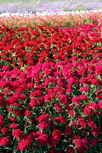 Flower farm in Goleta