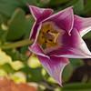 Tulip Exburgh Gardens