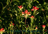 5681 - Indian Paint Brush Wild Flowers