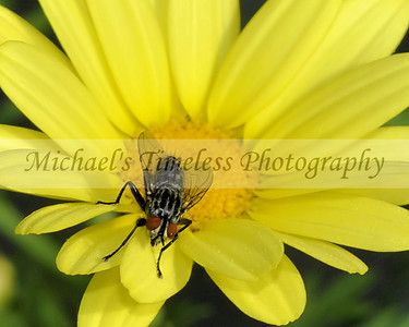 Yellow Daisy with Fly - 8 x 10