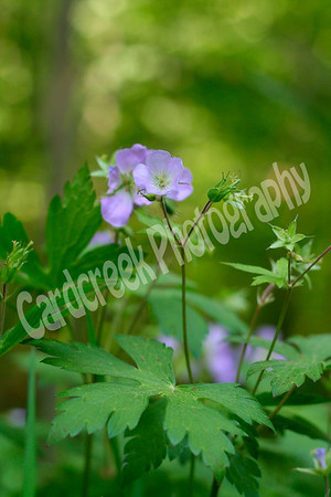 Wild Geranium<br /> Geranium maculatum<br /> Family: Geranium (Geraniaceae)<br />  Habitat: woods<br />  Height: 1-2 feet<br /> Flower size: 1 to 1-1/2 inches across<br /> Flower color: lavender<br /> Flowering time: April to June<br />  Origin: Native to Pennsylvania