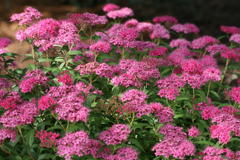 The bees best friend.<br /> Spirea, blooming and keeping the bees happy...