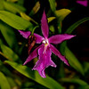 Hybrid Orchid Miltassia Royal Robe