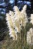 IMG_8833 fluffy bushy white flowers reeds fern