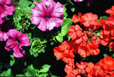Massachusetts flowers