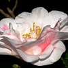 Camellia japonica 'Lady Vansittart'<br /> Eryldene, Gordon, Sydney.