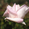 Rose- Royal Highness; class- Hybrid Tea