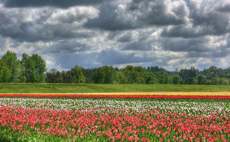woodland tulip fields