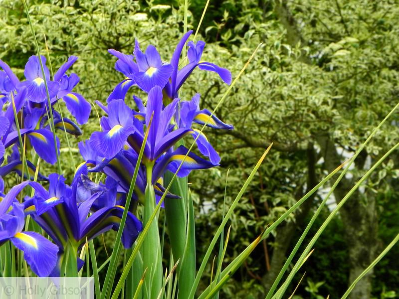 Purple irises - 103
