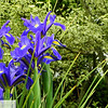 Purple irises - 103