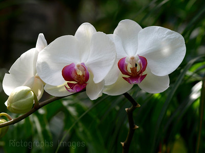 White & Pink Orchids