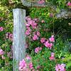 Post Roses