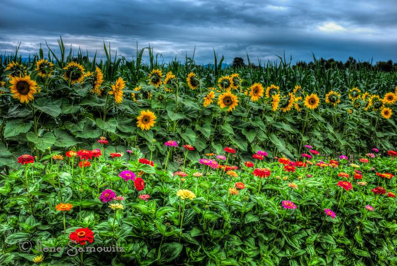 8-25-13 Skagit Sunflowers and Zinnias