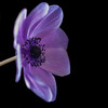 "<font color=""#e9efb7"">A Purple Poppy"