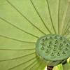 Nelumbo nucifera cv. Hindu Lotus pod<br /> Nelumbo nucifera cv. Hindu Lotus<br /> Sacred Lotus<br /> Sydney Royal Botanic Gardens, Australia.<br /> 4th January 2004