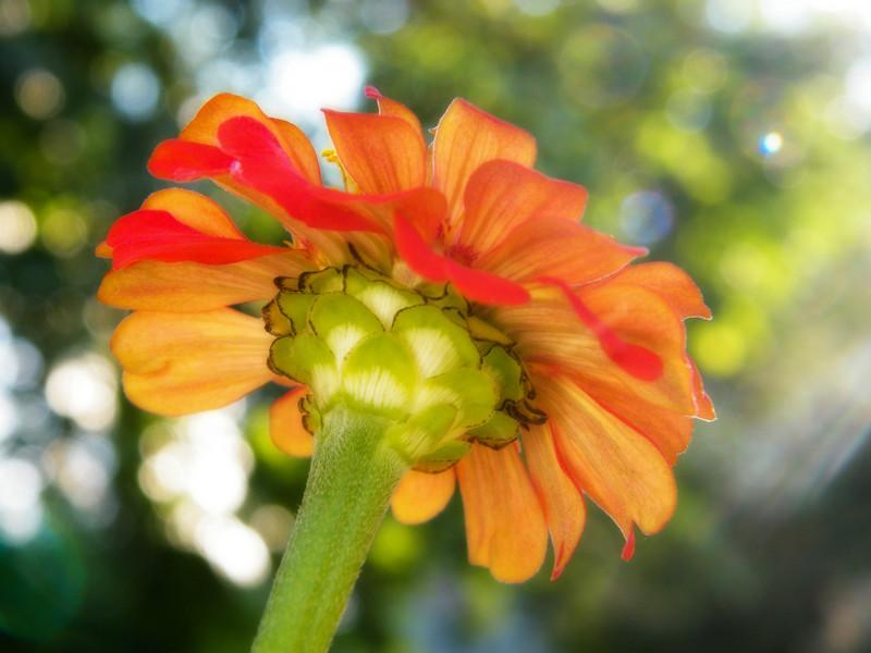 Orange zinnia shot from below