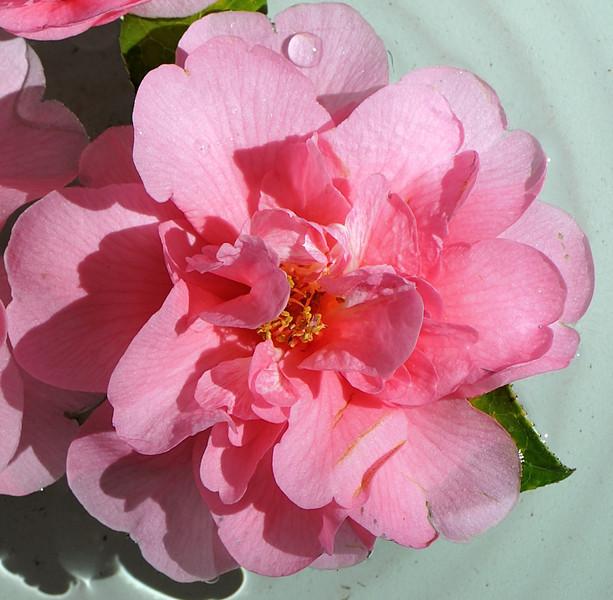 Camellia flower.<br /> Eryldene Historic House and Garden. Sydney Australia.