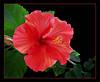 Hibiscus (77756998)